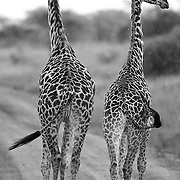 """""""Giraffes (Twiga)""""                                              Tanzania<br />  Strolling down the road one rainy afternoon on the edge of the Serengeti, I captured this pair of Masai giraffes. Best known for their 'maple leaf' shaped markings.  Beautiful and elegant, they are capable of delivering a fatal blow to a lion."""