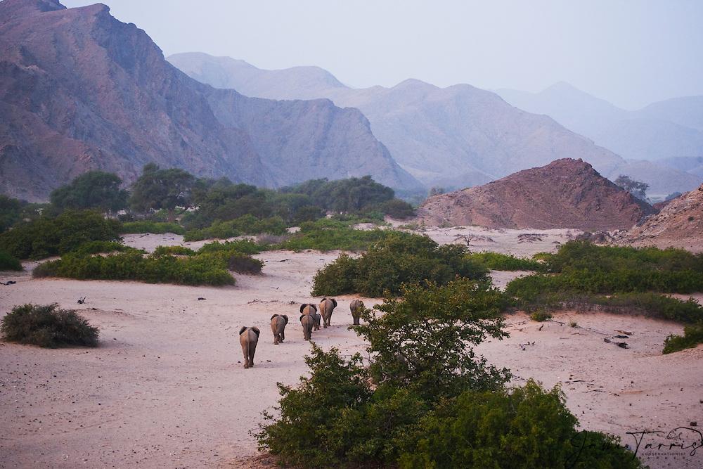 A desert-adapted elephant herd (Loxodonta africana) walks through deserted sand dunes and desert canyons ,Skeleton Coast, Namibia, Africa
