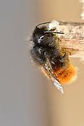 European orchard bee (Osmia cornuta) orchard bee, hornfaced bee, female | Gehörnte Mauerbiene (Osmia cornuta) Weibchen am Nest, Neströhre, Niströhren, Niströhrchen, Wildbienen-Nisthilfe, Wildbienennisthilfe