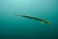 Longnose Gar<br /> <br /> Christopher Morey/Engbretson Underwater Photo