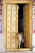 Cattle coming from a doorway in Jodhpur, Rajasthan, India