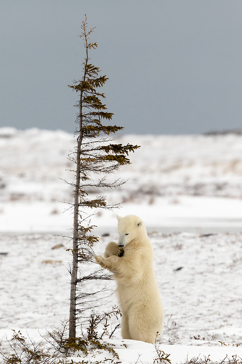 polar bear, Churchill, Manitoba  polar bear