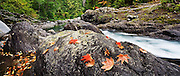 Fallen red maple leaves rest on boulders on the bank of the Sol Duc River, Olympic National Park, Washington.