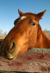 close up of a horse leaning over a fence towards the camera