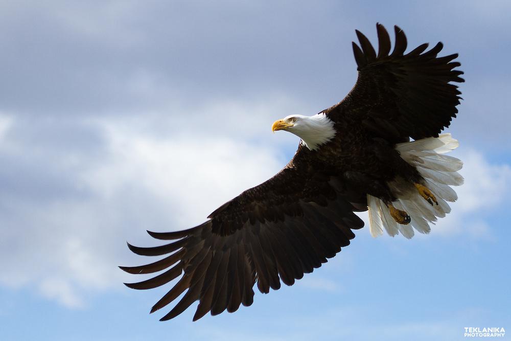 A bald eagle flying through the sky.