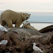 Polar Bear(Ursus maritimus) and Glaucous Gulls(Larua hyperboreus) feeding on carcass of a bowhead whale.(Balaena mysticetus) Alaska.