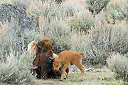MOTHER'S DAY, GIVE OR TAKE A WEEK   Bison (Bison bison) and a newborn in anchient sagebrush forest. Late April.