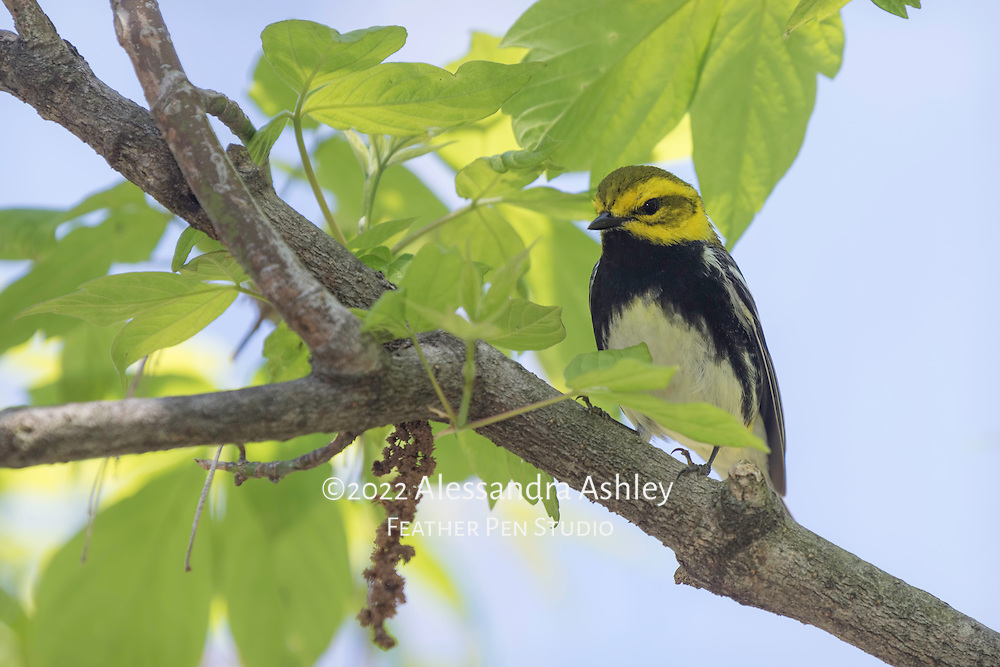Black-throated green warbler (Septophaga virens), a tiny, colorful songbird in the wood-warbler family. Photographed at Magee Marsh Wildlife Area in northwest Ohio, a prime stopover point for neotropical migratory birds in spring.
