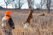 "Golden retriever ""Kaya"" hunts pheasants in South Dakota.<br /> <br /> This photo is a good reminder why you must never shoot at low-flying birds.<br /> <br /> A stanza from an English poem written by Mark Hanbury Beaufoy reminds us about gun safety:<br /> <br /> ""All the pheasants ever bred; won't repay for one man dead"""