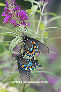 03004-01508 Pipevine Swallowtail (Battus philenor) male and female mating on Butterfly Bush (Buddleja davidii) Marion Co. IL