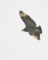 Black Vulture (Coragyps atratus). Image taken with a Fuji X-T3 camera and 200 mm f/2 OIS lens with a 1.4x teleconverter.