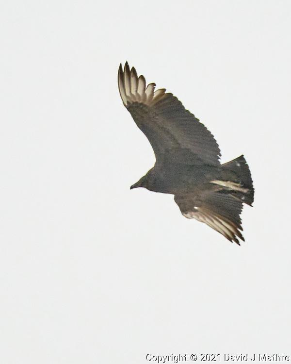 Black Vulture (Coragyps atratus). Image taken with a Fuji X-T3 camera and 200 mm f/2 OIS lens with a 1.4x teleconverter.