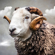Close up of Herwick breed of ram with white face and horns