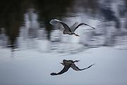 Gråhegre i flukt | Escaping Grey Heron.