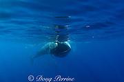 Bryde's whale, Balaenoptera brydei or Balaenoptera edeni, feeding on baitball of sardines, Sardinops sagax, off Baja California, Mexico ( Eastern Pacific Ocean ) #2 in sequence of 6 images