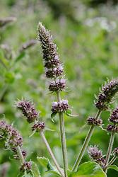 Aarmunt, Mentha spicata