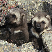 Wolverine kits at an entrance to a den during early spring in the Rocky Mountains of Montana. Captive Animal