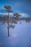 Gentle light from rising sun illuminates a single scots pine (Pinus sylvestris) in snowy raised bog, Kemeri National Park (Ķemeru Nacionālais parks), Latvia Ⓒ Davis Ulands | davisulands.com