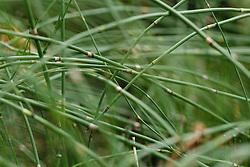 Schaafstro, Equisetum hyemale