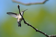 Ruby-Throated Hummingbird with its wings outstretch on a tree branch.