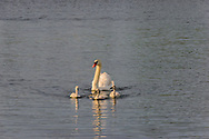 Swan with ducklings, Mecox Bay, Water MIll, NY