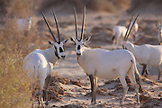 Israel, Aravah desert, A Herd of Arabian White Oryx (Oryx leucoryx). The Arabian white oryx is a large white antelope, Almost totally extinct in the wild several groups have since been reintroduced to the wild.