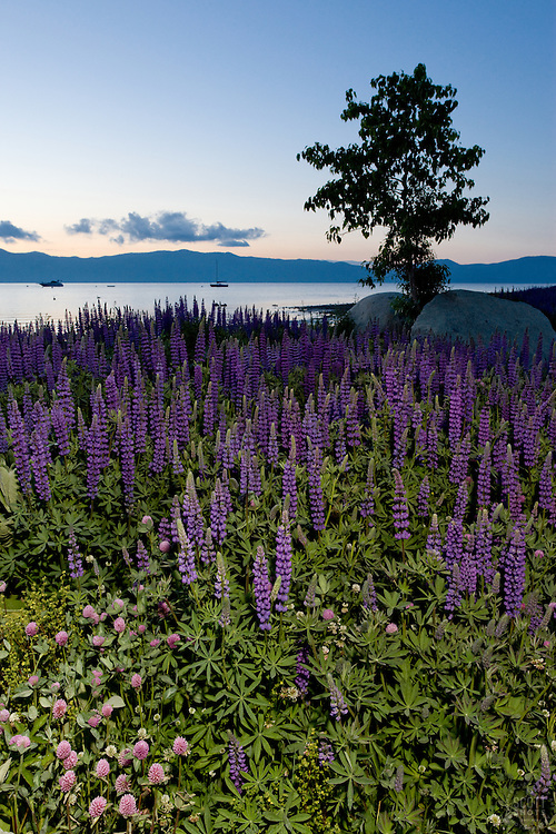 """""""Wildflowers at Lake Tahoe 1""""- These wildflowers were photographed in the early morning at Lake Forest Beach Park, Lake Tahoe."""