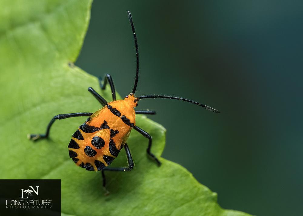 Sephina gundlachii - Giant Milkweed Bug.  Photographed at Erna Nixon Nature Area, Melbourne Florida USA