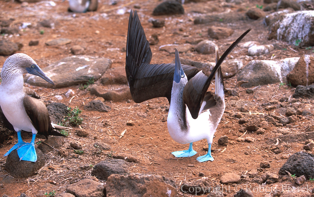 ECUADOR, GALAPAGO Blue-footed Booby, Sula nebouxii