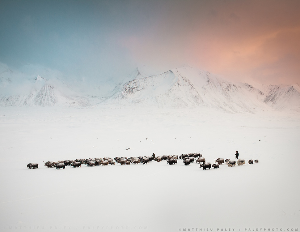 Deep in the Pamir mountains, a nomad brings his herd of yaks back to camp after a heavy snowfall in one of High Asia's remotest region.  The sunset light is blue and orange.