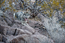 Mexican wolf (Canis lupus baileyi) in pen at breeding facility, Ladder Ranch, west of Truth or Consequences, New Mexico, USA.