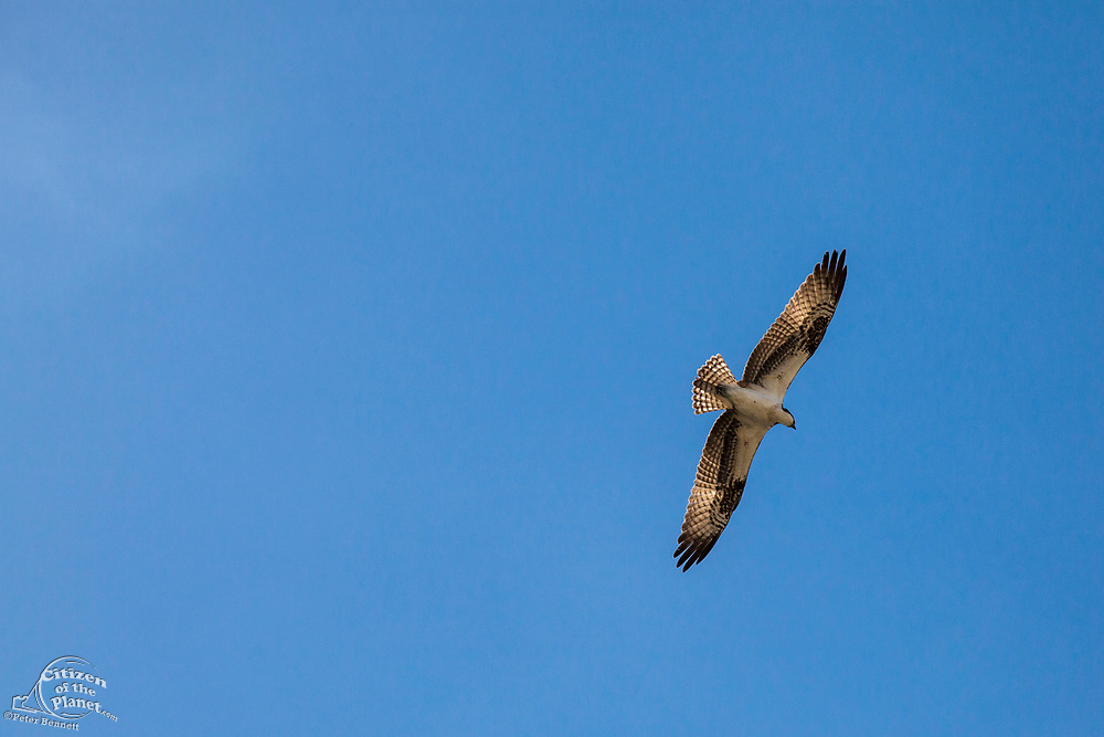 Osprey flying over the Los Angeles River, Glendale Narrows, Los Angeles, California, USA