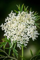 Sambucus nigra f. laciniata AGM - showing finely cut foliage. Elder