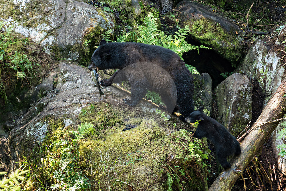 An adult American black bear sow carries a salmon as she leads her cub up a rock formation at Anan Creek in the Tongass National Forest, Alaska. Anan Creek is one of the most prolific salmon runs in Alaska and dozens of black and brown bears gather yearly to feast on the spawning salmon.