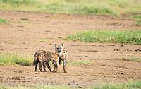 Two Spotted Hyenas, Crocuta crocuta, greet each other in Lake Nakuru National Park, Kenya