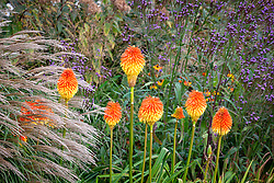 Kniphofia rooperi - Rooper's red-hot poker - with Verbena hastata and Miscanthus sinensis 'Yakushima Dwarf'