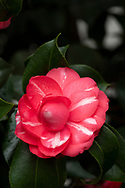 Camellia 'Imbricata', a red camellia with white stripes blooming in February in the conservatory at Chiswick House, Chiswick, London, UK