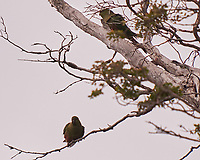Austral Parakeet at Hotel Lago Gray. Torres de Paine, Ultima Esperanza, Magallanes, Chile. Image taken with a Fuji X-T1 camera and 55-200 mm VR lens (ISO 800, 200 mm, f/4.8, 1/250 sec).