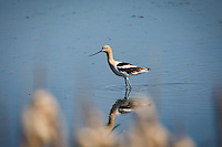 American Avocet<br /> <br /> ©2015, Sean Phillips<br /> http://www.RiverwoodPhotography.com