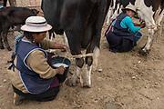 Indian milking cow<br /> Augustina Lata & Maria Chimbo<br /> Calpi animal market<br /> Parish of Riobamba, Chimborazo Province<br /> Andes<br /> ECUADOR, South America