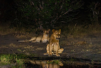 A pride of female lions drinking water while on the move at night, Kwando Concession, Linyanti Marshes, Botswana.