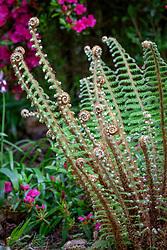 Unfurling fern fronds - Polystichum setiferum