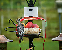 Red-bellied Woodpecker. Image taken with a Nikon D850 camera and 200 mm f/2 VR lens