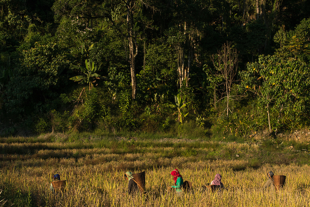 Adi Gallong harvesting rice<br /> Adi Gallong Tribe<br /> Arunachal Pradesh<br /> North East India