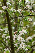 Red, pink and white blossoms begin to open on the branches of an apple tree in Snohomish County, Washington.