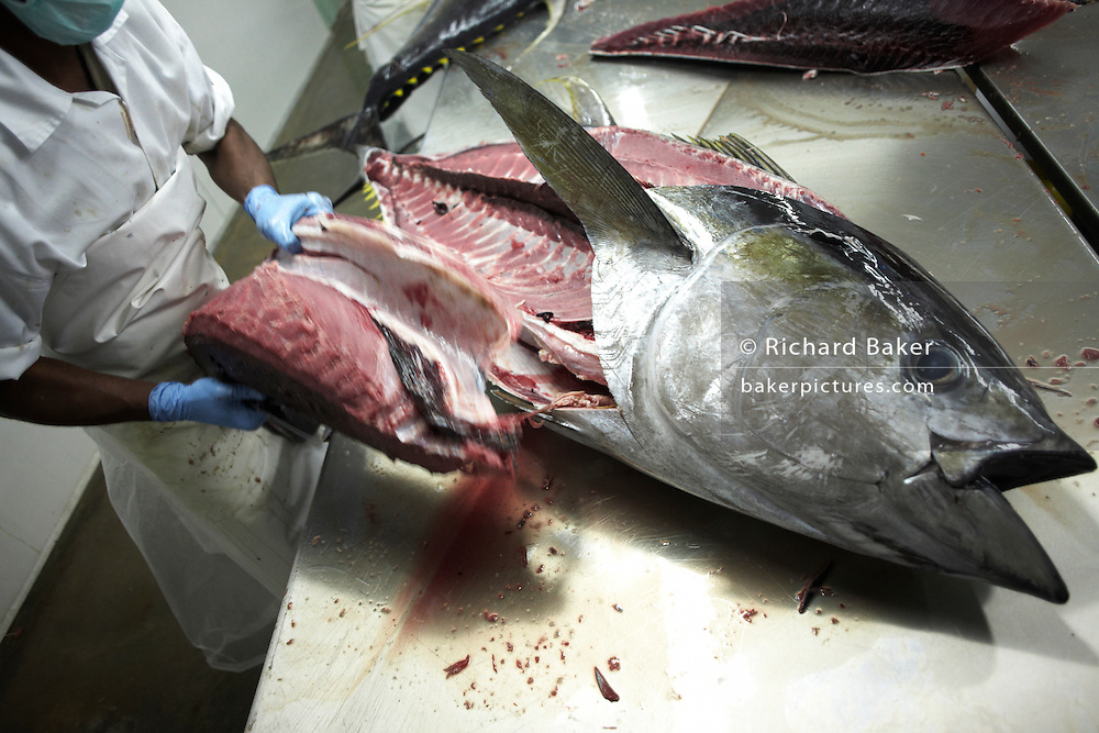 An employee of Cyprea Marine Foods fillets freshly-caught  yellow fin tuna fish at the company's refrigerated processing factory on Himmafushi island, Maldives. The 50kg carcasses have been swimming across the Indian Ocean non-stop since birth and just line-caught by freelance boat crews who share profits for only high-quality fish that passes stringent health tests. The tuna has been in ice since being landed to keep a low-temperature body core so the workers cut out the prime flesh as quickly as possible before boxing the resulting chunks of steak for export by air to Europe and in particular for customers such as UK's Sainsbury's supermarket. The Sri Lankan workers are ex-fishermen and widowers, having lost their families during the Tsunami. Using extremely sharp knives, they skillfully remove valuable meat and throw away the rest.
