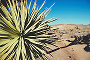 Desert Yucca Plant at at Joshua Tree National Park
