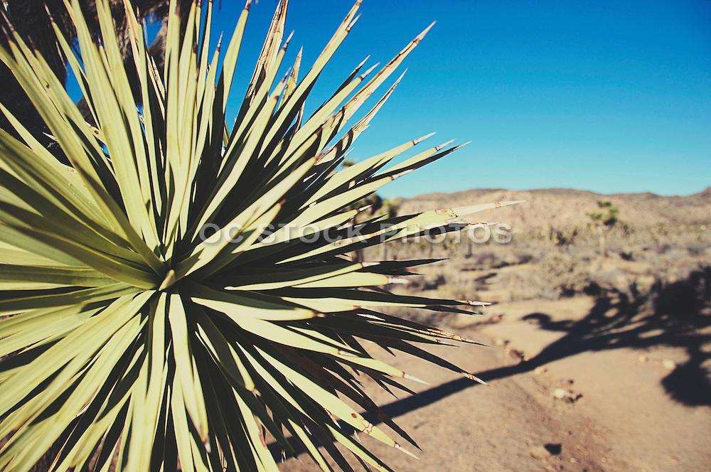Desert Yucca Plant at at Joshua Tree National Park