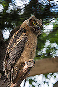 Owls are raised from babies and once they are able to fly, are released into the wild to hunt on their own.