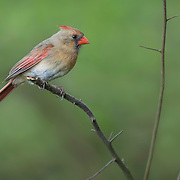Female northern cardinal perches on broken branch in natural wooded setting in spring.